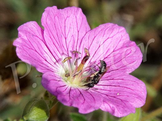 Bild: eine kleine Mini-Wildbiene trinkt Nektar am Storchschnabel