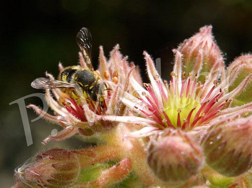 Bild: eine Garten-Wollbiene, Anthidium manicatum, trinkt Nektar an den Blüten der Hauswurze