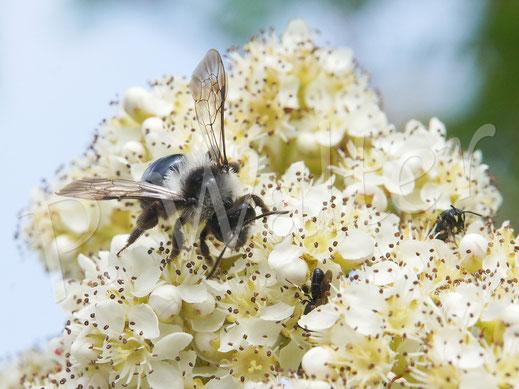 19.05.2018 : Graue Sandbiene und zwei Maskenbienen an den Ebereschenblüten