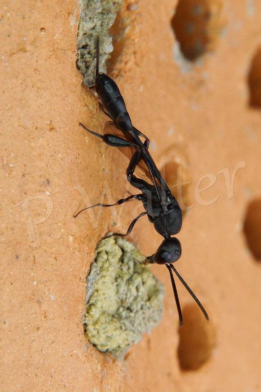 Bild: eine Schlupfwespe inspiziert die Nistplätze der Wildbienen im Tonstein