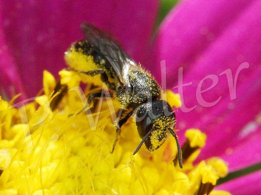 27.07.2019 : Löcherbiene, Osmia truncorum, sammelt Pollen einer Cosmee