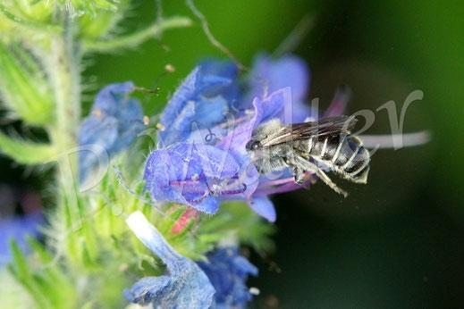 Bild: eine eventuell auf Natternkopf spezialisierte Wildbiene, eventuell ein Männchen der Natternkopf-Mauernbiene