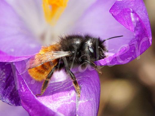 09.03.2019 : ein verregnetes Weibchen der Gehörnten Mauerbiene, Osmia Cornuta, am Krokus