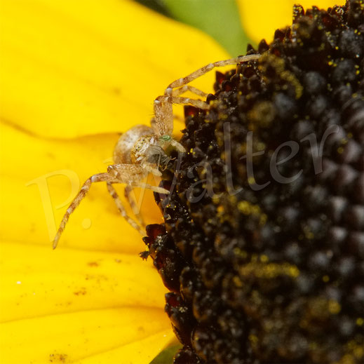 Bild: Krabbenspinne, Laus, Sonnenhut, Rudbeckia, Blüte