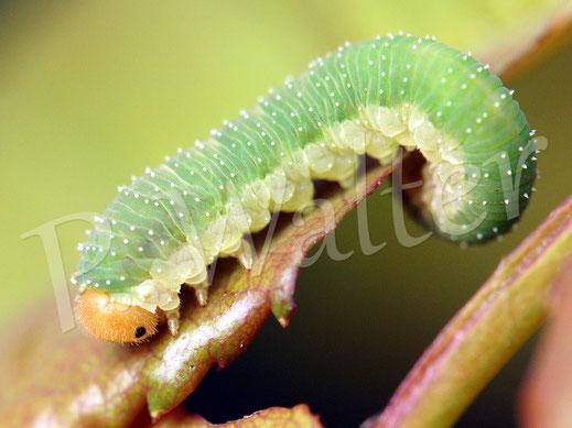 02.06.2018 : eine der Raupen, die an den Blättern der Kletterrose knabbern (und auch weiter knabbern dürfen)