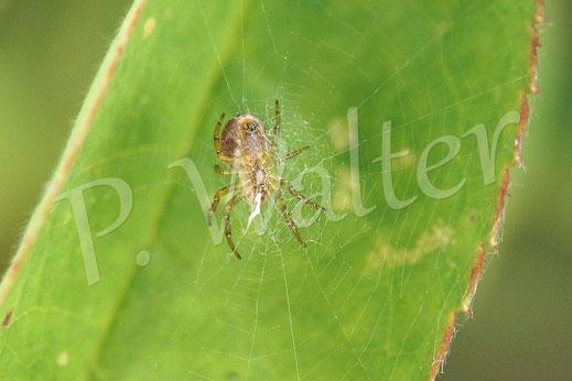 28.09.2014 : eine kleine Spinne