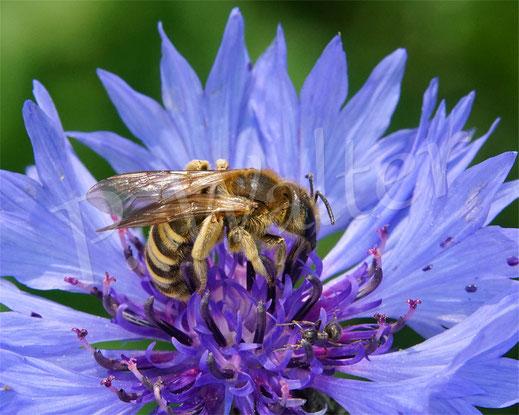 Bild: Gelbbindige Furchenbiene, Halictus scabiosae, auf einer Kornblume