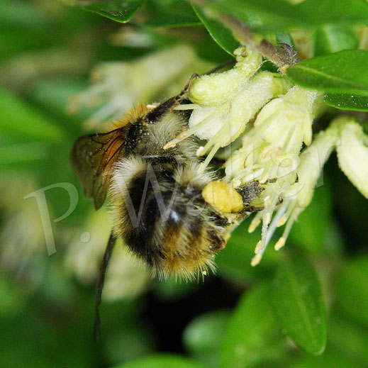Bild: Hummel, Bombus spec.,  an den Blüten der Heckenmyrte