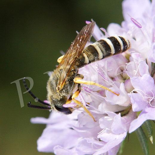 Bild: Männchen, Sechsbindige Furchenbiene, Halictus sexcinctus, weiße Behaarung an einer Skabiose