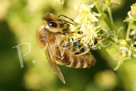 Bild: Honigbiene, Gelbe Resede, Gelber Wau, Reseda lutea