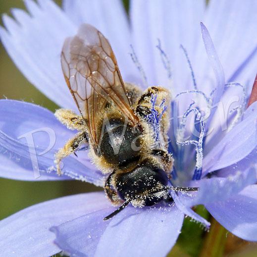 Bild: Weibchen, Gelbbindige Furchenbiene, Halictus scabiosae, oder Sechsbindige Furchenbiene, Halictus sexcinctus, trinkt Nektar an einer Wegwartenblüte