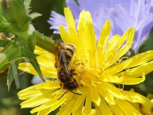 Bild: Gelbbindige Furchenbiene, Halictus scabiosae, ein Weibchen am Wiesen-Pippau