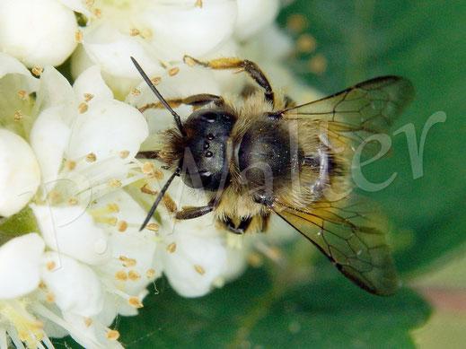 Bild: eine Rostrote Mauerbiene, Osmia bicornis, trinkt Nektar an den Blüten der Säulen-Eberesche