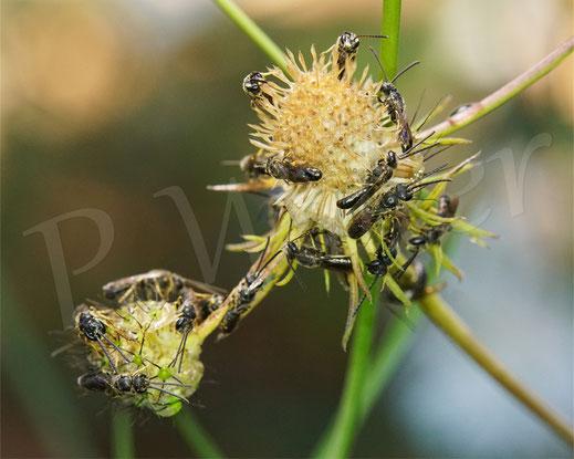 Bild: Schmalbienen-Schlafhaufen, Lasioglossum spec., alles Männchen, Übernachtung auf der Skabiose