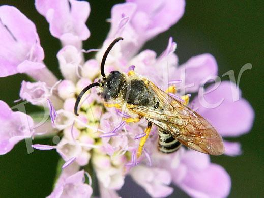 Bild: Männchen der Gelbbindigen Furchenbiene, Halictus scabiosae, trinkt Nektar an einer Skabiosenblüte