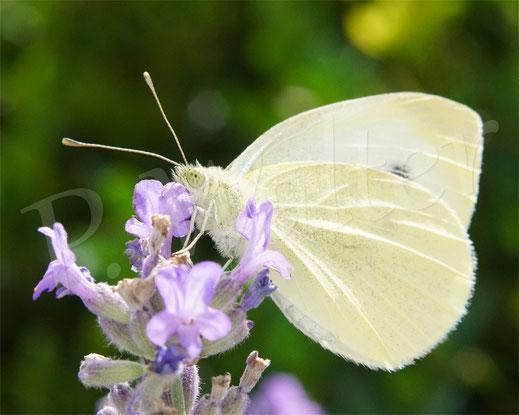 20.07.2014 : Kohlweißling am Lavendel