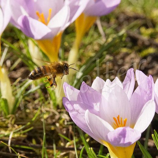 Bild: Honigbiene im Anflug zur nächsten Krokusblüte