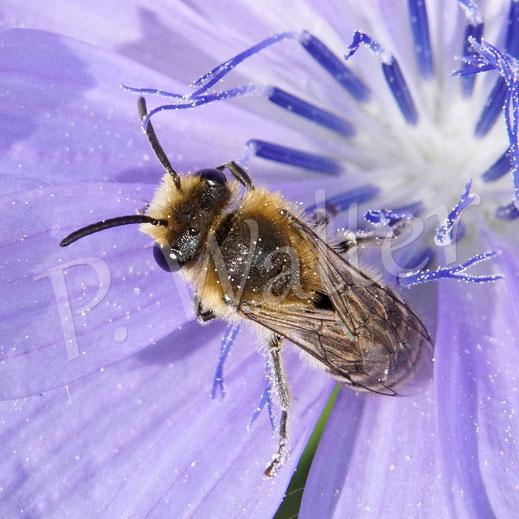 Bild: ein Seidenbienenmännchen, Colletes spec., an der Wegwarte