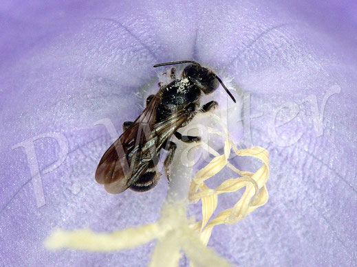 Bild: eine Glockenblumen-Scherenbiene, Osmia rapuculi, in einer Blüte der Pfirsichblättrigen Glockenblume