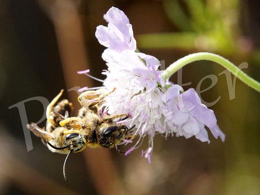 Bild: Gelbbindige Furchenbienen, Halictus skabiosae, an einer Skabiose, Weibchen mit einem aufdringlichen Männchen