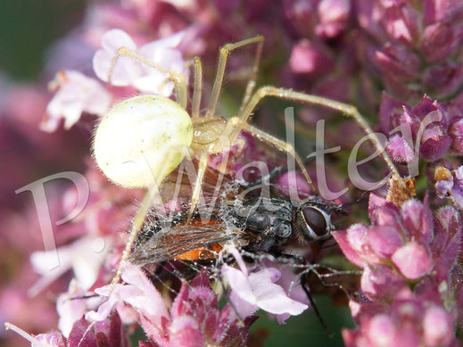 01.08.2015 : Spinne mit erbeuteter Fliege