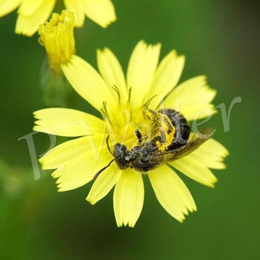 Bild: Furchenbiene, Halictus spec., Weibchen am Rainkohl