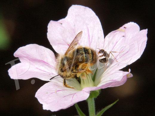 Bild: Wildbiene (Mauerbiene ?) wird auf einer Storchschnabelblüte von einer Ameise attakiert !