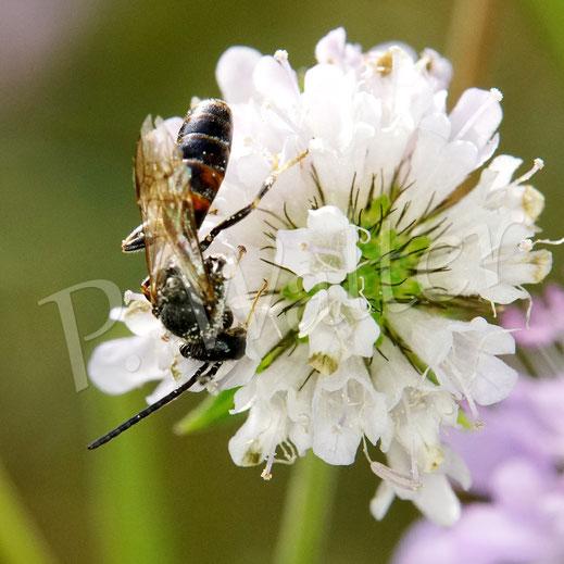 03.10.2020 : kleine Furchenbiene, bzw. Schmalbiene an einer Skabiose