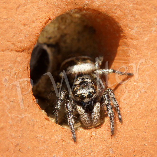 01.05.2016 : Springspinne hat es sich in einer ehemaligen Wildbienennest gemütlich gemacht