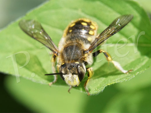 Bild: Garten-Wollbiene, Anthidium manicatum, Männchen bei einer Pause