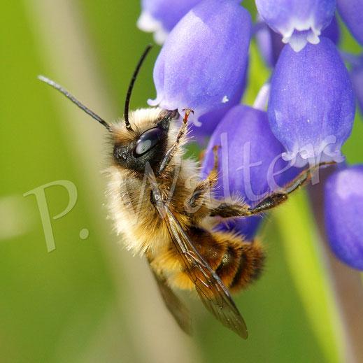 Bild: Männchen, Rostrote Mauerbiene, Osmia bicornis, an einer Traubenhyazinthe