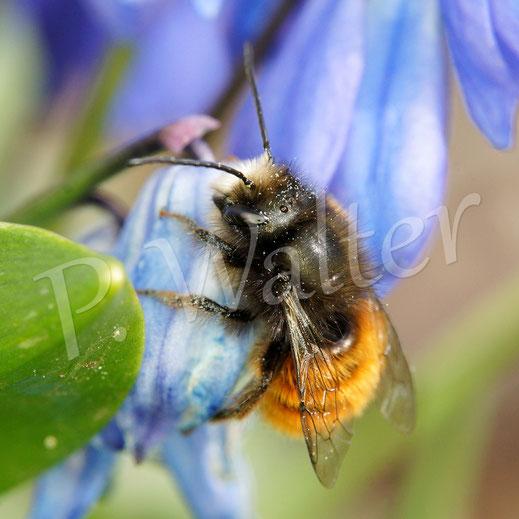 Bild: Gehörnte Mauerbiene, Männchen, Osmia cornuta, am Blausternchen, Scilla siberica