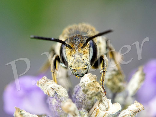 Bild: Kegelbiene, Coelioxys aurolimbata, Weibchen am Lavendel