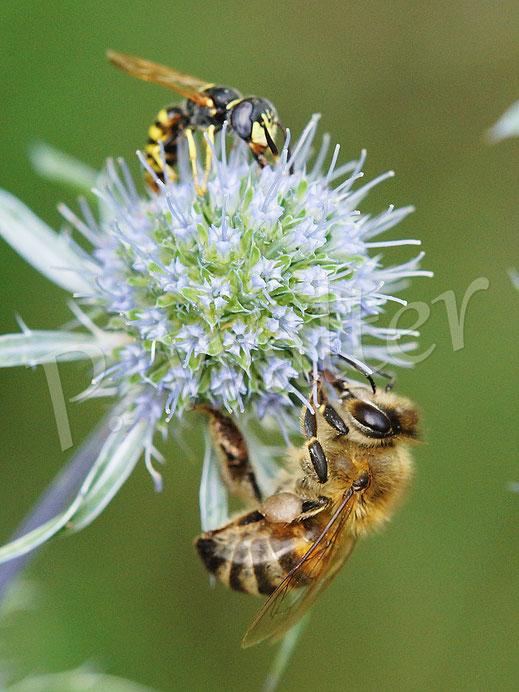 21.07.2018 : Honigbiene und eine männlicher Bienenwolf (vor dem brauch Erstere keine Angst haben), an der blauen Kugeldistel