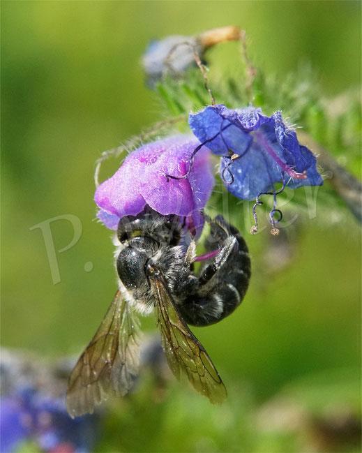 18.07.2021 : ein Weibchen der Natternkopf-Mauerbiene an den letzten Blüten des Natternkopfs ...