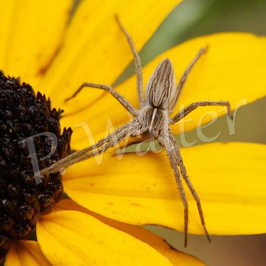 27.08.2016 : Spinne auf einer Sonnenhutblüte