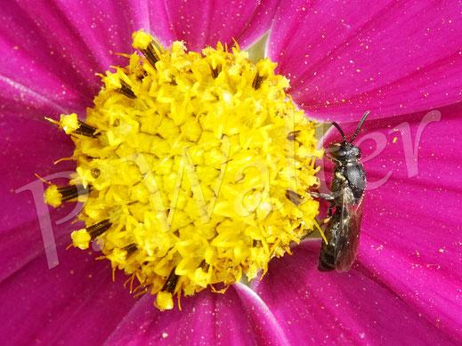 31.08.2020 : eine Maskenbiene, Hyleaus spec., an einer Cosmeenblüte