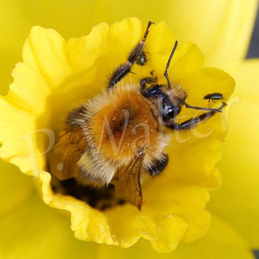 Bild: Hummel in einer Narzissenblüte
