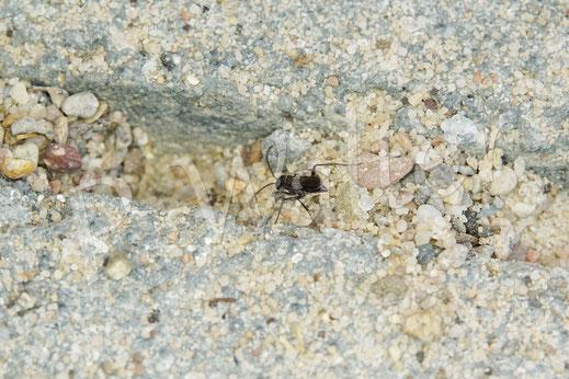 Bild: eine von etlichen Wegwespen, die sich in unseren Terassenfugen Nistgänge graben, schlauerweise trocken unter´m Terassendach