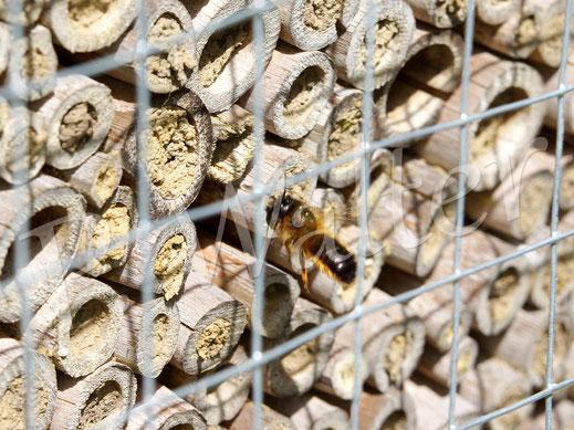 12.05.2019 : die Mauerbienen haben mich zwar blöd angeschaut, was das nun soll, aber haben kein Problem mit dem Gitter (Maschenweise 19mm) ...