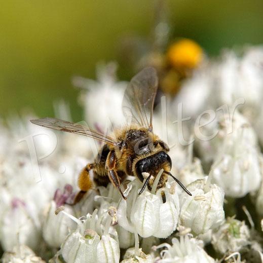 Bild: eins der fleißigen Sandbienen(?)Weibchen am Porree