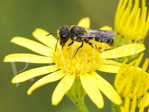 Bild: eine Löcherbiene, Osmia truncorum, sammelt Pollen am Jakobs-Kreuzkraut