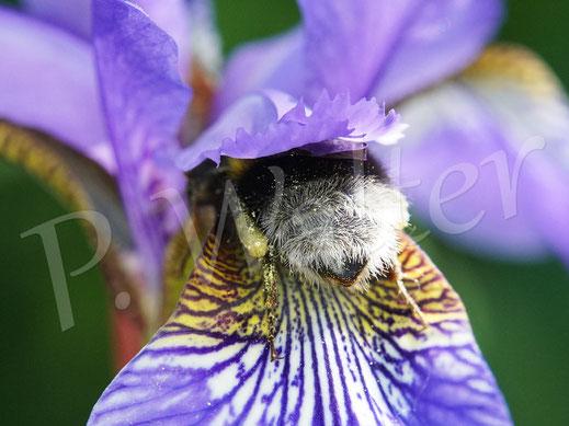 Bild: Erdhummel, Bombus terrestris, quetscht sich in die Blüten der blauen Iris