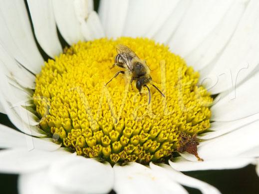 Bild: ein Seidenbienenmännchen, Colletes spec., an einer Margeritenblüte
