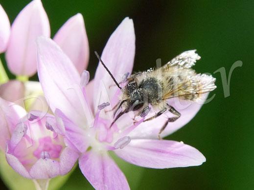 29.05.2020 : noch ein altes Rostrotes Mauerbienenmännchen (?) am Zierlauch