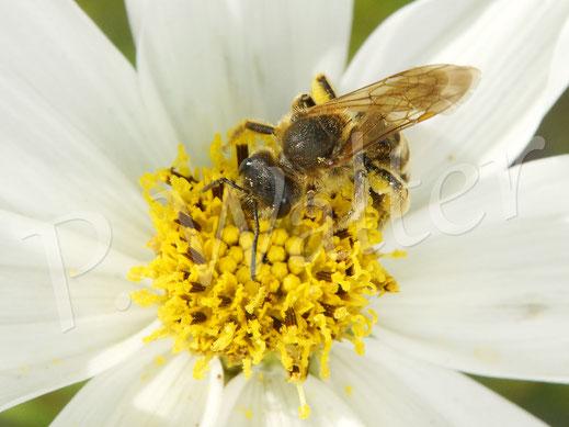 Bild: Gelbbindige Furchenbiene, Halictus scabiosea, Weibchen, an einer weißen Cosmee