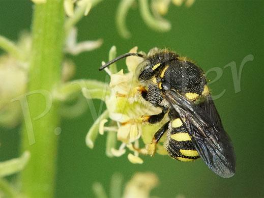 Bild: Kleine Harzbiene, Anthidium strigatum, bzw. Anthidiellum strigatum, an der Färber-Hundskamille