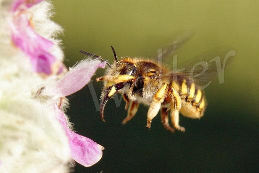 Bild: Garten-Wollbiene, Anthidium manicatum, Weibchen im Flug, Woll-Ziest