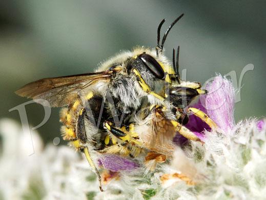 Bild: eine Wollbienen-Pärchen, Anthidium manicatum, am Woll-Ziest, deren Flugzeit ist eigentlich schon nahezu vorbei ...