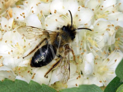 Bild: eine Sandbiene, Andrena spec., an den Blüten der Säulen-Eberesche